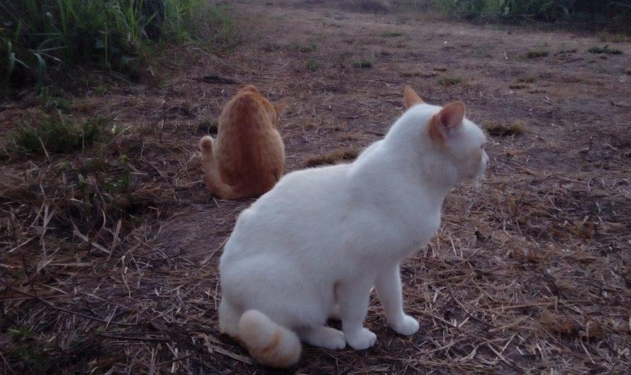 แมวตัวแรกที่ผมเลี้ยง แมวขาวมณี ตาสองสี