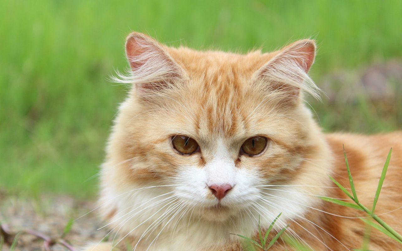 แมวกินหญ้าทำไม อันตรายหรือเปล่า