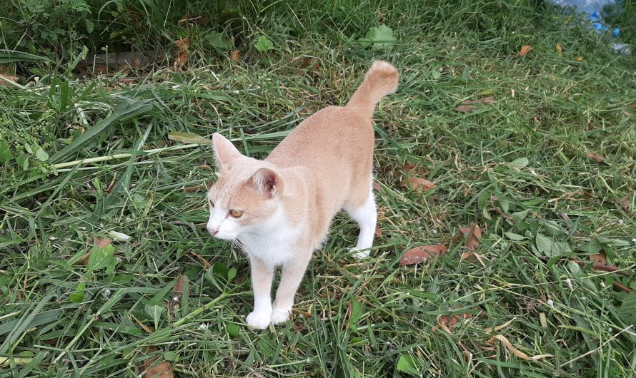 แมวหนีเที่ยว เกิดจากอะไร แก้ยังไง