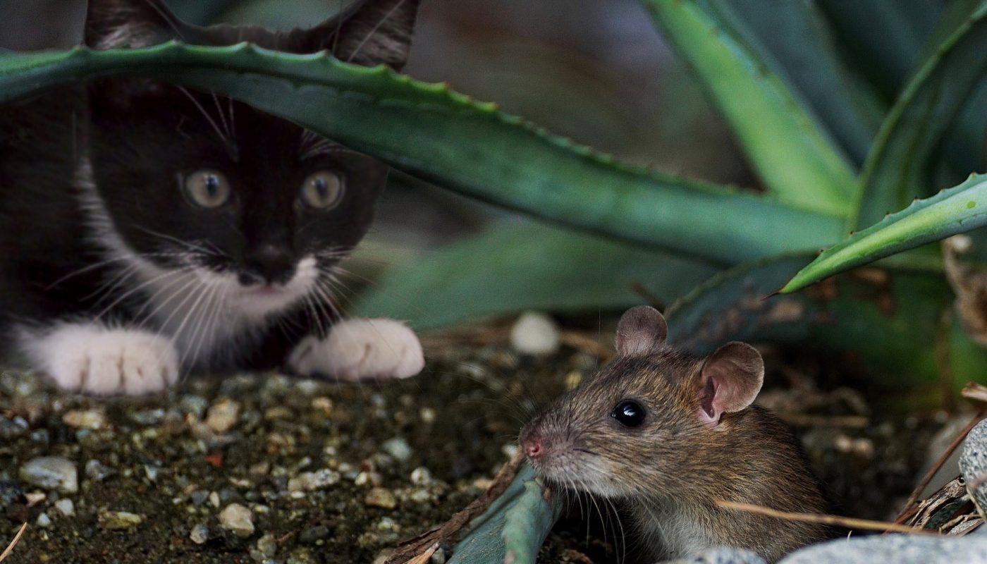 แมวจับหนูมาให้ มันคืออะไร