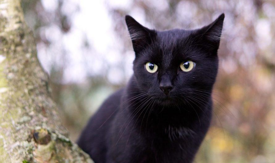 แมวดำกับความเชื่อของคนทั่วโลก