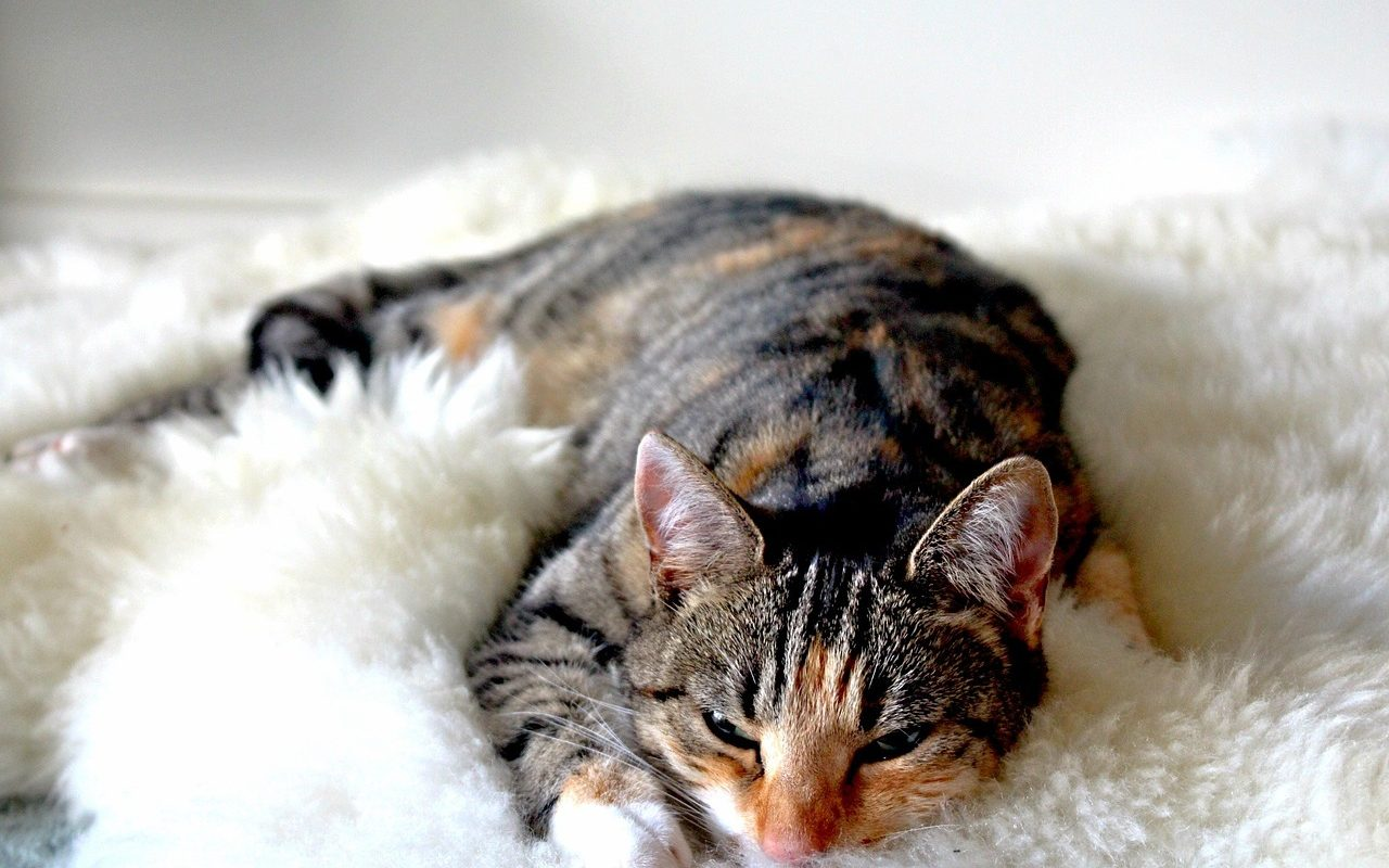 แมวกวนตอนนอนด้วยเสียง purr