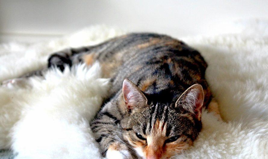 รู้สึกว่าแมวกวนตอนนอนด้วยเสียง purr