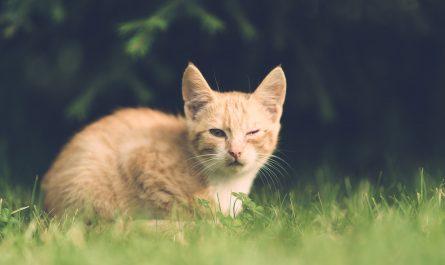 อาการแมวเป็นไข้ดูยังไง