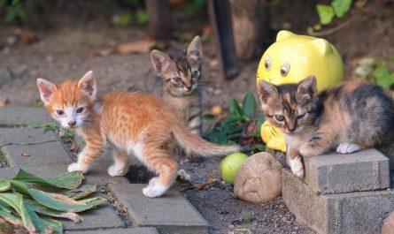 เลี้ยงแมวตัวเดียวหรือสองตัวดี