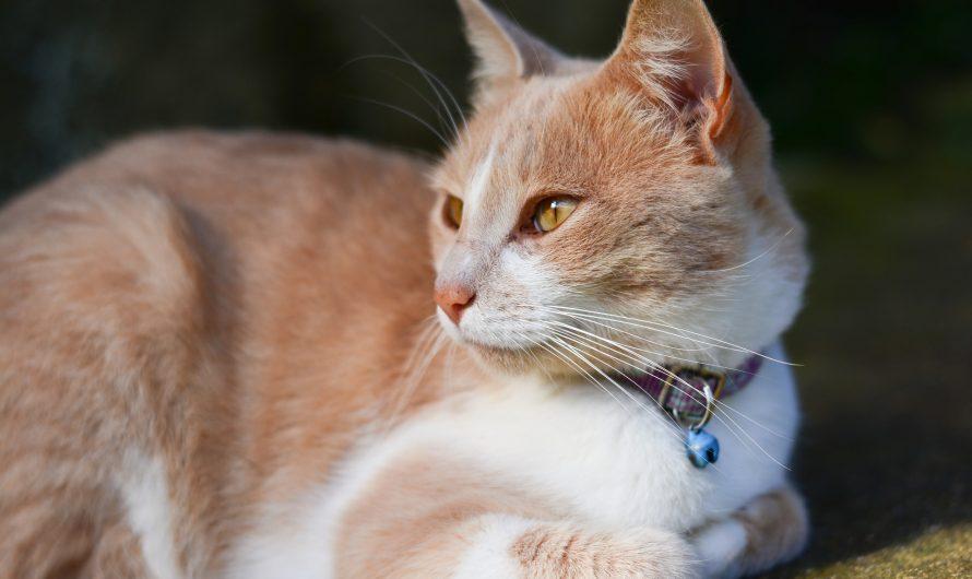 Choosing a Purebred Cat